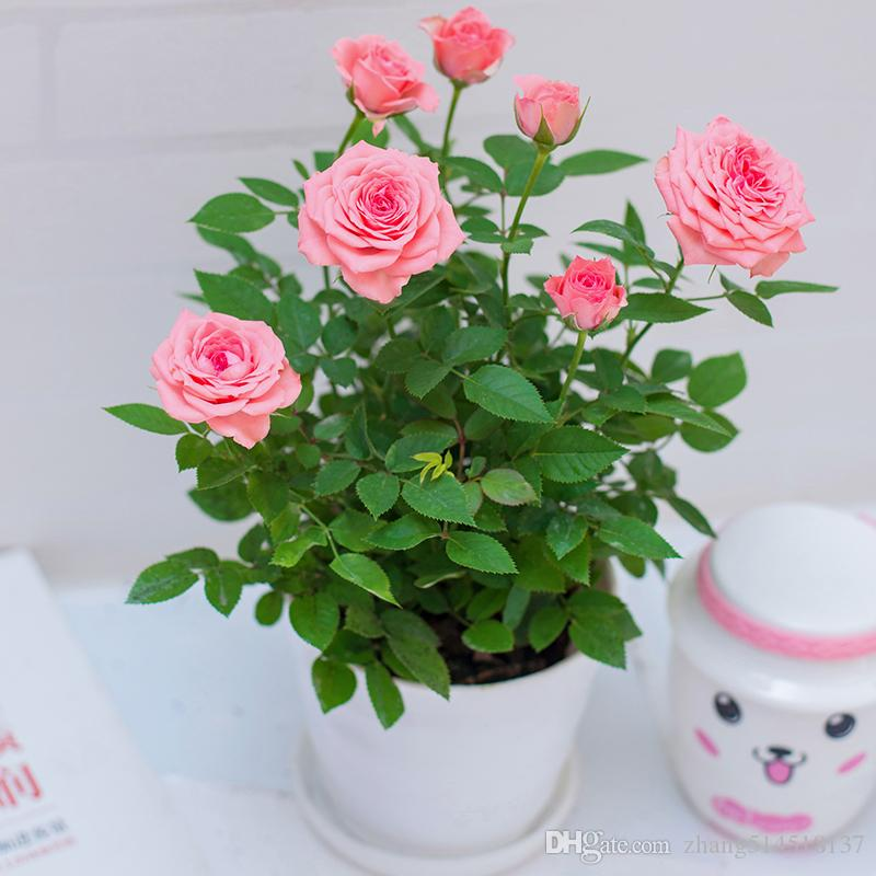 50 pcs Bonsai Chinese rose seeds plant Beautiful flower plant Rare potted balcony plant for home garden seeds