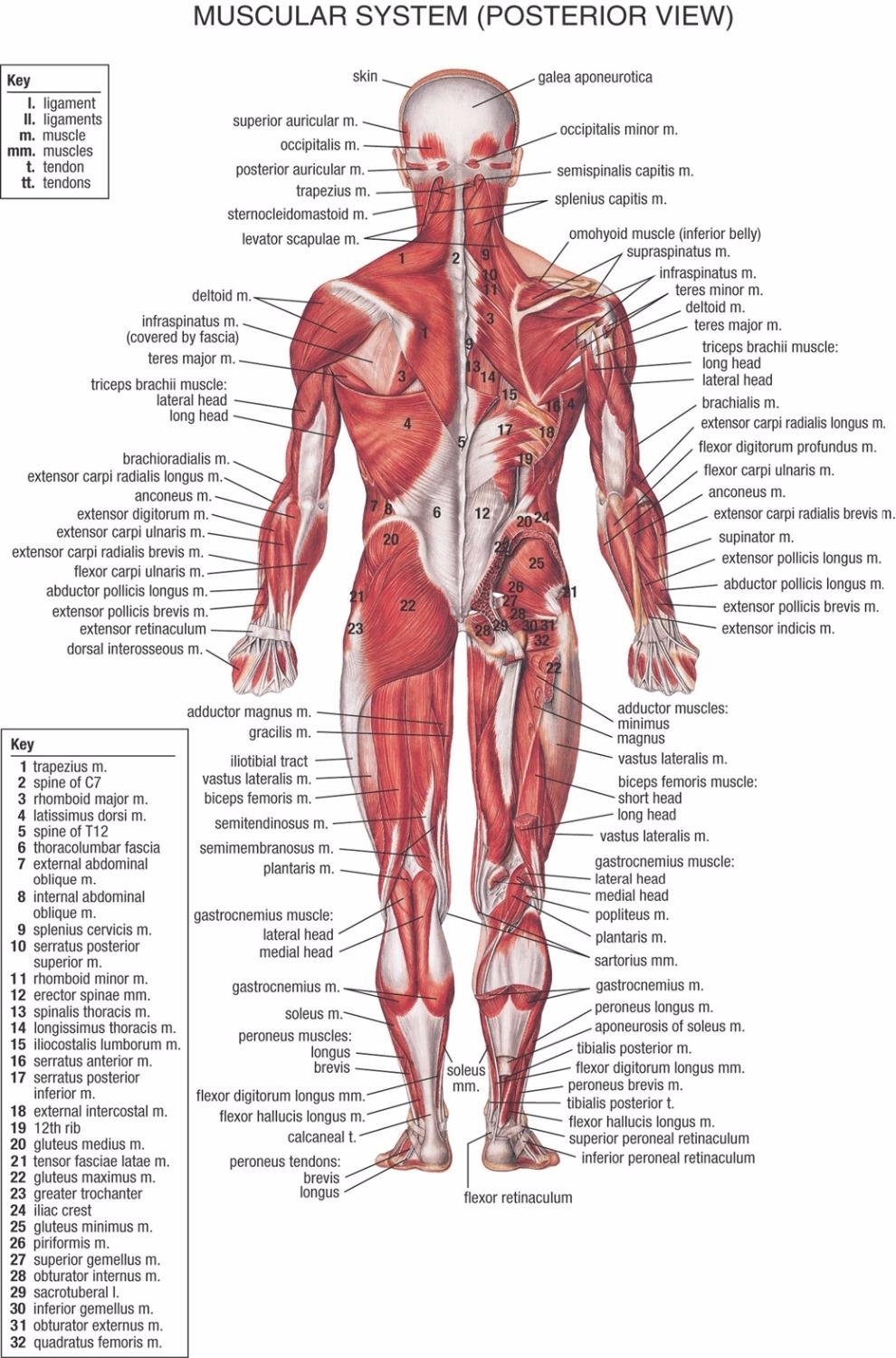 2019 human body anatomical chart muscular system campus knowledge