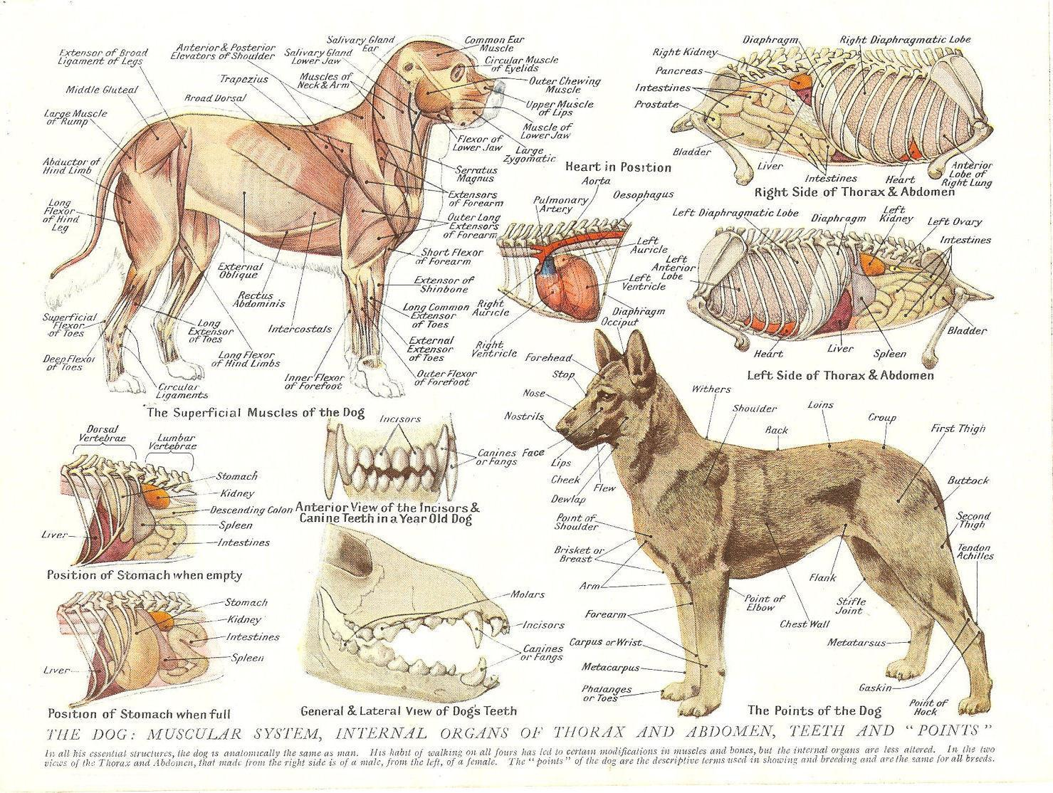 2019 Muscles Organs Of The Dog Animal Anatomy Pathology Art Silk