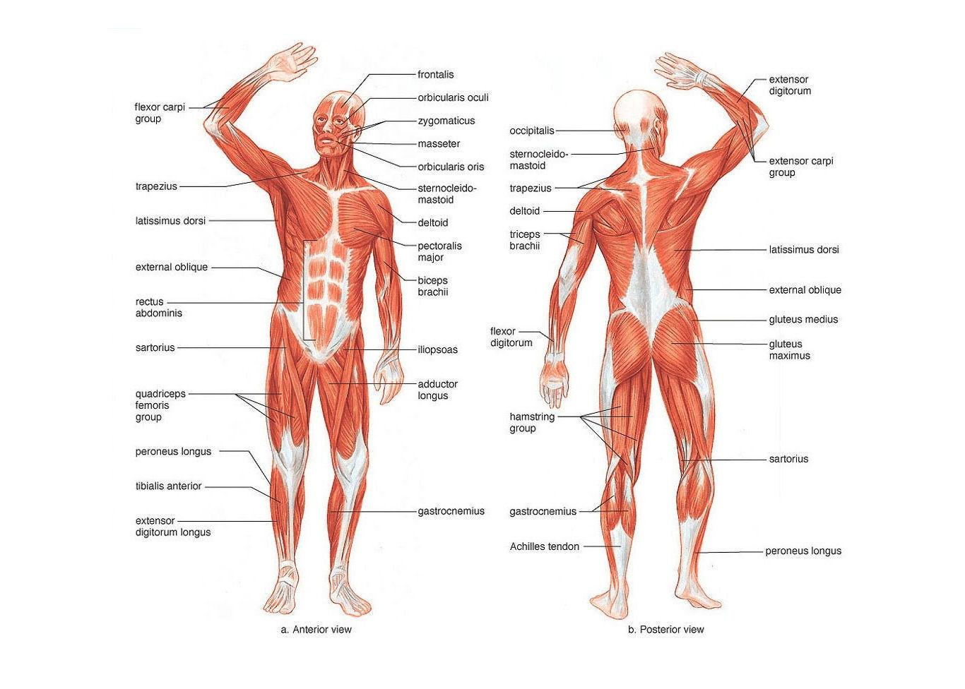 Muscle Layout Of The Human Body Art Silk Print Poster