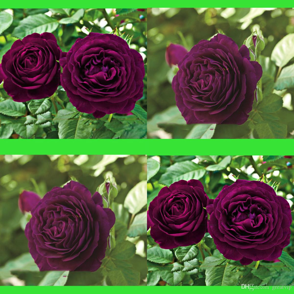 100Pcs Dark Purple Roses Flowers Seeds Bush Tree Adenium Obesum Bonsai  Desert Rose Flower Seed Perennial Bloom Balcony Garden Plants Yard
