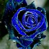 100 seeds   pack, New Rose Seeds, Fragrant Water Blue Rose Seeds Land Miracle #M43