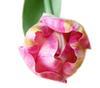 темно-розовый тюльпан