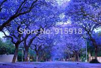 Baum samen blume 10 stücke Blau Lila Jacaranda Mimosifolia Baum Strauch, Freies verschiffen!