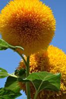테디 베어 해바라기 씨앗 해바라기 씨앗 발코니 화분 식물 정원 분재 꽃 종자 공장 10pcs / lot 쉬운 RS61