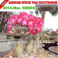 20 SEMI - Semi Rare THAI SOCOTRANUM Adenium Obesum - Bonsai Desert Rose Flower Plant Seeds