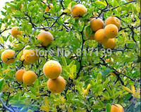Nueva Home Garden Plant 20 Semillas Hardy Bitter Orange, Poncirus Trifoliata, Semillas de Frutas Envío Gratis