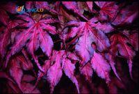 """20 семян / пакет экзотический Японский клен """"фиолетовый призрак"""" свежие семена"""""""