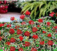 10 semillas de geranio, geranio abigarrado en maceta flor de jardín de invierno de alta germinación, bonsái en maceta DIY envío gratis