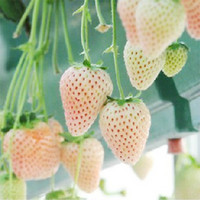Novel 100x White Strawberry Seed Nutritious Delicious Fruits...