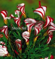 무료 배송 Oxalis versicolor flowers seeds 100pcs 세계의 희귀 한 꽃 가든 집 심기 꽃 Semillas 49 %