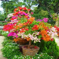 300個のカラーブーゲンビリアバルコニー鉢植えの種子、ヤード盆栽花植物には派手な、フリオリファイラストハーディプラントの出荷