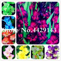200 PCS PERENNIAL GLADIOLUS BONSAI Planta Semillas de flores Espada rara Flor de lirio para el hogar Decoración de jardín Jardin Bonsai Planta de bricolaje Sementos