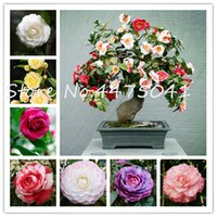 100pcs arc-en-Camellia graines de plantes Bonsai Flower Garden, Diy Plantes en pot, intérieur ou extérieur Pot Flores sol Taux Germination organique de 95%
