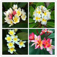 Bonsai 200 Pçs / saco Sementes Plumeria Potted Frangipani Hawaiian Lei Flor Raro Eggflower Exótico Cor Perfeita DIY Home Jardim Plantação