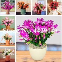 500 unids mexicano híbrido epiphyllum flor bonsai planta semillas rara orquídea cactus planta jardín decoración bonsai flores regalo de navidad para niños