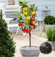 100 PC 씨앗 일본어 드워프 사과 나무 다년생 온대 분재 식물 식물 식물 과일 야외 정원 냄비 발바닥 꽃 냄비에 대 한