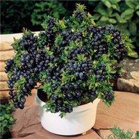홈 정원 쉬운을위한 블루 베리 분재 500 개 미니 과일 나무 블루 베리 씨앗 하이 부시 DIY Countio 분재 식물 성장