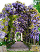 Venda! Sementes de glicínias bonsai flor sementes wisteria árvore planta perene flores subindo o crescimento para casa jardim 100 pcs frete grátis