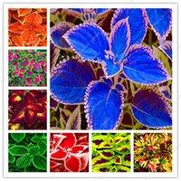 200 PC 씨앗 분재 무지개 Coleus 꽃 아름다운 단풍 식물 완벽한 컬러 드래곤 발코니 Begonia 분재 DIY 홈 성장하기 쉽습니다.