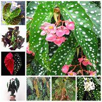 200 stks / zak Zaden Begonia Bonsai Bloem Plant Tuin Terras Outdoor Color Leaf Begonia Planta PotTy Family Garden Perennial Planting