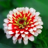 1 pack package original Supérieur Zinnia Semences Bonsai Hot Sale! Rare Fower Plantas pour Jardin Home Garden Flores Fleurs intérieures NO5