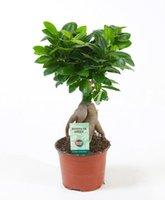 Venta caliente 200 PC Semillas Ficus Lyrata Bonsái, en maceta Balcón Banyan hoja del árbol Bonsai Garden nuevas plantas resistentes a las radiaciones, purificar el aire