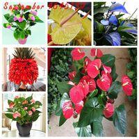 Seltene Blume Anthurium Bonsai Balkon Topfpflanze Anthurium Blume Bonsai für DIY Hausgarten Leicht zu wachsen 200 stücke Samen