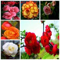 100 sztuk Nasiona Egzotyczne Rieger Begonias Begonia Piękny Bonsai Multi-Flap Dekoracji Kwiat Strona główna Ogród Coleus Puszek Darmowy Shippin