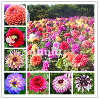 300 PCS Colorful Dahlia Bonsai seeds Chinese Rare Jardin Charming Flower Beautiful Perennial Indoor Or Outdoor Plant For Home Garden