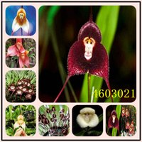 2020 Venda Quente Novas Sementes De Arrivel 100 Pcs Orquídeas Orquídeas Monkey Face Orchid, Flor Bonsai Plantas Flores Potted Presente Jardim Decoração Planta