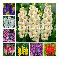 300 semillas de las PC multi-color de la flor de gladiolo Bonsai, 97% de germinación, bricolaje aeróbico en maceta, Rare jardín interior flore aeróbico gladiolo Flor