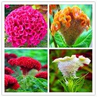 Sprzedaż Nasiona! 1000 sztuk / worek Kolorowe Pteris Cockscomb (Celosia Spicata) Bonsai Flower Bonsai Doniczkowe rośliny dla DIY Home AMP Garden
