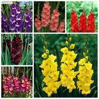 Flor de gladiolos mixtos exóticos, aeróbicos Bonsai Bonsai Plantillas de planta de plantas de orquídeas para el jardín de casa Decoración en maceta de interior Paisajismo 500 PCS / Bolsa