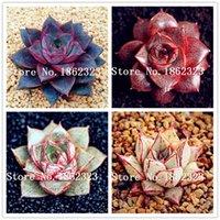 500 pezzi esotico Echeveria Purpusorum piante rare semi succulenti piante per erbe perenni piante bonsai pentola fiore indoor per giardino floreale pentola semi