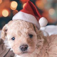 1PC Nueva Red Dogs Santa Claus sombreros de la Navidad de la felpa de tela linda calientes Accesorio de cabeza del perrito de invierno gorras sombrero con la bola de Navidad del perrito de Kawaii