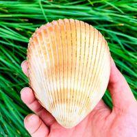 Gigante berberecho concha cáscara de cáscara dinocardio robustum acuarios espécimen marine conch tanque decoraciones artesanías DIY Landsap H BBYQQR