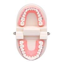 Modèle mullocclusion orthodontique dentaire avec supports Archwire Tube Buccal Modèle de dents pour la communication des patients Enseignement adulte