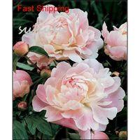 10 pcs / sac couleur mélangé pivoine graines chinois arbre rose pivoine graines beaux décoration bonsai fleur plan qylhhv bde_luck