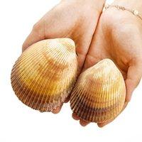 Concha gigante Conch Cáscara de cáscara Dinocardio Robustum acuarios Espécimen Marine Conch Tank Decorations Crafts DIY Landsap H BBYZEB