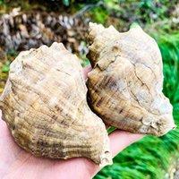 8 10 cm Conch SHELL NATURAL Cáscara de aguas profundas Snail Hermit Cangrejo Seashell Náutico Decoración para el hogar Tanque de pescado Acuario Accesorios de decoración H BBYRNZ
