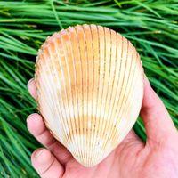 Concha gigante Conch Shell Clam Dinocardio Robustum acuarios Espécimen MARINOS Conch Tanque Decoraciones Artesanía DIY Landsap H Jllboo