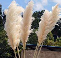 200 قطع 60-80 سنتيمتر الأبيض الطبيعي ريد جافة زهرة كبيرة pampas العشب باقة الزفاف زهرة حفل الديكور الحديثة الديكور المنزل SN1873