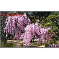 10 قطع مختلط اليابانية بونساي بذور شجرة ساكورا تبكي شجرة الكرز diy حديقة المنزل قزم ساكورا jllzfy mx_home