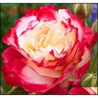 Hot Selling Bonsai Adenium Obesum Seeds Balcony Flowers Seeds 2 Pcs Rainbow Desert Rose Seeds For Home Gard qylQPr bdenet
