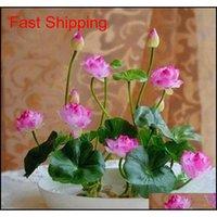 2018 sıcak satış! 5 adet / torba Kase Lotus Su Zambak Tohumları Nadir Sucul Çiçek Tohumları Çok Yıllık Bitki Bonsai Ev GA Qylaal Homes2007