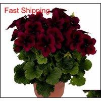 Real Import Geranium Seeds Parennial Bonsaï Fleur Pélargonium Plantes en pot pour jardin Deco Qylacu Homes2011