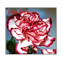 Продвижение 10 цветов доступно карнация семена многолетних цветов в горшках садовые растения Dianthus Caryophy Qylgxx Homes2011
