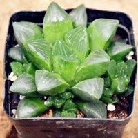 Crassallaceae etli Botanik Bahçe Dekorasyon Kapalı Ofis Dikim DIY Mikro Peyzaj Aile Saksı Bitkileri
