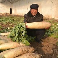 100pcs plantes succulentes graines de radis blanc, graines de légumes géants, plats de nutrition
